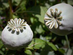 Opiates & Opium