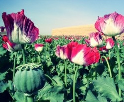 opium drug