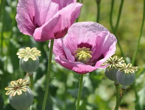 Opium Opium Drug Plant
