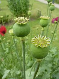 opium abuse