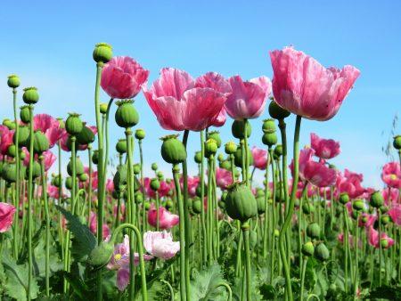 Opium Facts